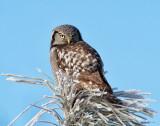 Hawk Owl Spokane County