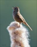 Song Sparrow, Turnbull NWR