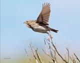 Savanna Sparrow, Turnbull NWR