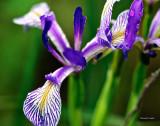 Wild Iris Turnbull NWR