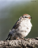 Chipping Sparrow, Turnbull NWR