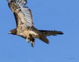 Red tail hawk take off, West Plains