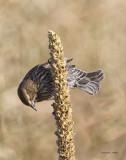 Female cowbird, West Plains