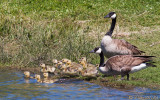 Canada Geese and Gooslings
