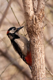 Buntspecht (Dendrocopos major)