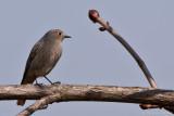 Hausrotschwanz (Phoenicurus ochruros)