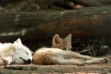 Wolfsbaby (Arktischer Wolf)