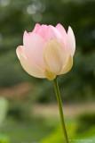 Indische Lotusblüte
