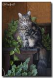 Oscar, Iris & Angus - Maine Coon Cats