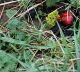 6091-2008 Early Rhubarb.jpg