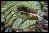 Close-up of a Green Anemone