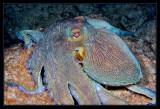 Bonaire Octopus