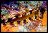 Bonaire Scallop