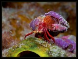 First Born, Red Reef Hermit crab with hatchlings (Paguristes cadenati)