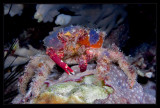 Another Decorator Crab