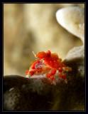 Climbing the pole (Teardrop Crab)