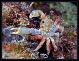 Red-Ridged Clinging Crab