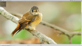 Ferruginous Flycatcher ( Muscicapa ferruginea )