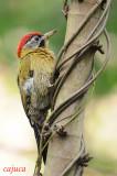 Laced Woodpecker ( Picus vittatus ), Male