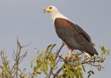 African fish eagle / Afrikaanse zeearend