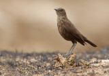 Northern Anteater-chat / Bruine Miertapuit