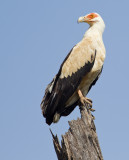 Palmnut vulture / Palmgier
