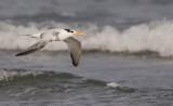 African Royal tern / Afrikaanse Koningsstern (T. m. albididorsalis)