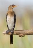 Long-tailed cormorant / Afrikaanse dwergaalscholver