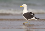 Kelp Gull / Kelpmeeuw