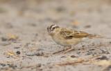 Village indigobird / Staalvink