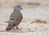 Blue-spotted wood dove / Staalvlekduif
