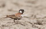 Chestnut-backed sparrowlark / Bruinrug-vinkleeuwerik