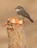 Swamp flycatcher / Moerasvliegenvanger