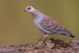 Speckled pigeon / Guinese duif