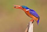Malachite Kingfisher / Kleine gekuifde ijsvogel