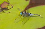 Dragonflies of the World / Libellen van de Wereld