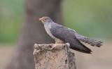 African cuckoo / Afrikaanse koekoek