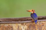 African Pygmy Kingfisher / Afrikaanse dwergijsvogel