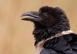 Pied crow / Schildraaf