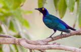 Purple glossy starling / Purperglansspreeuw