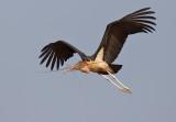 Marabou Stork / Marabou