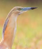 Squacco Heron / Ralreiger