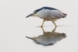 Black-crowned night-heron / Kwak