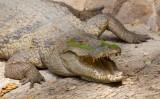 West African crocodile / West Afrikaanse krokodil