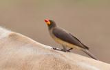 Yellow-billed oxpecker / Geelsnavelossenpikker