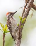 Brown-backed woodpecker / Bruinrugspecht