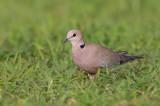 Vinaceous Dove / Wijntortel