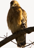 Red-shouldered Hawk DSC_2885-Web5x7-Cloned.jpg