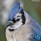 geai bleu close-up  IMG_8135-600.jpg