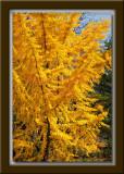 Gingko Tree
